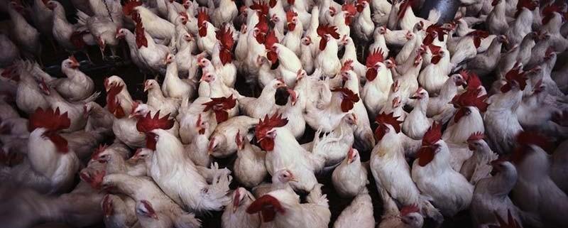 Allevamento intensivo di polli